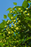 Green hops. Plant on blue sky background Stock Photo