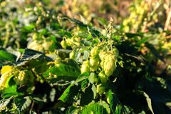 Green hops Royalty Free Stock Images