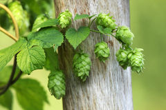 Green hops is used as an ingredient of beer Royalty Free Stock Photography