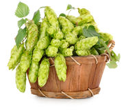 Green hops in a wooden basket Royalty Free Stock Photos