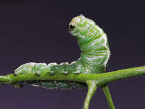 Green horned caterpillar Royalty Free Stock Photo
