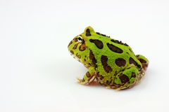 Green horned frog Royalty Free Stock Photos