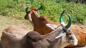 Green horned Gujarati cattle Royalty Free Stock Photography