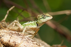 Green horned lizard on tree stick Stock Photo