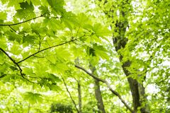 Green horned maple leaves. Fresh green horned maple leaves in green native forest Royalty Free Stock Images