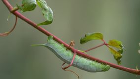 Green Hornworm Caterpillar Hanging from Vine Blowing in the Breeze, 4K stock footage