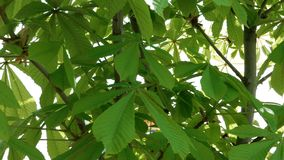 Green horse chestnut Aesculus hippocastanum leaves on tree branches swinging in the wind in springtime. stock footage