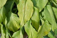 Green hosta Hosta plantaginea leaves
