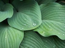 Green hosta leaves. Bright green hosta leaves with thirst-quenching droplets of water Royalty Free Stock Images