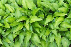 Green hosta leaves Stock Image