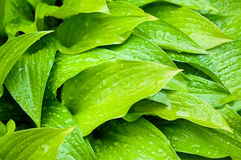 Green hosta leaves closeup. Green hosta leaves after the rain Stock Photos