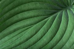 Green hosta plantain lily leaf. Detailed macro photo. Beautiful foliage texture. Can be used as a background.
