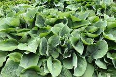Green hostas plant in a park Stock Photos
