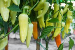 Green hot chili pepper . Stock Photos