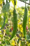 Green hot chili peppers in a garden. Close up of green hot chili peppers in a garden stock photos