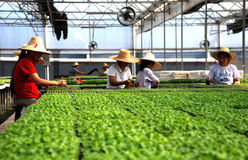 GREEN HOUSE. Workers are busily cultivating seedlings  in a modern green house Stock Image