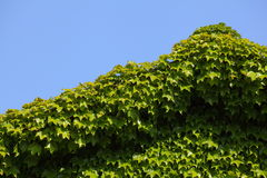 The Green House. Completely overgrown house and roof by a climbing plant Stock Images