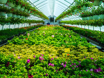 Green House Flowers royalty free stock images