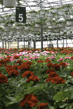 Green House Flowers. Hanging baskets and rows of geranium flowers in a greenhouse ready for springtime sale royalty free stock photos
