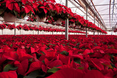 Green House full of Red Poinsettias Stock Photography