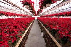 Green House full of Red Poinsettias Stock Image