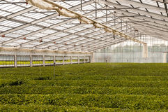 Green house for growing green tea Royalty Free Stock Image