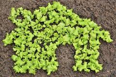 Green house lettuce Royalty Free Stock Photos