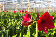 Green house for the nursery of Amaryllis stock photography