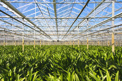 Green house for the nursery of flowers. In this case amarayllis in the Neterlands stock photography