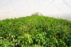 Green house with pepper plantation. (tunnel shaped plastic greenhouse Stock Images