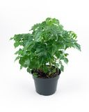 Green House Plant. Lush green house plant isolated over white royalty free stock photos