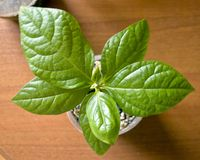 Green house plant in a pot on a wooden table. top view Stock Images