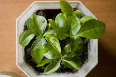 Green house plant in a pot on a wooden table. top view Royalty Free Stock Photo
