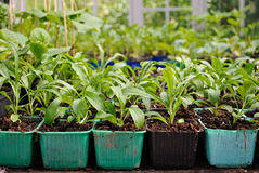 Green House Potted Plants Royalty Free Stock Photo