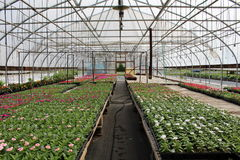 Green house with rows of flowers Stock Photos