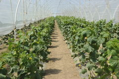 Green House with Vegetables Stock Photos