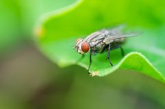 Green Housefly Royalty Free Stock Images