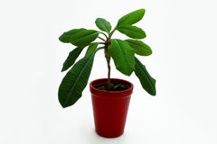 Green houseplant in red pot on white. Royalty Free Stock Photo