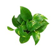 Green houseplant tree Royalty Free Stock Images