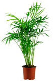 Green howea palm-tree in flowerpot Royalty Free Stock Photo