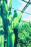 Green, huge cactus. In the greenhouse Stock Images