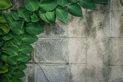 Green huge leaves old wall decorated in garden with copy space Stock Photography