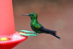 Green Humminbird Royalty Free Stock Image
