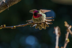 Green hummingbird bird on the branch with blury background Royalty Free Stock Images