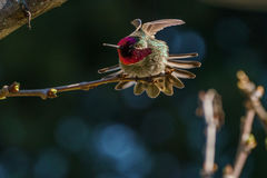 Green hummingbird bird on the branch with blury background Royalty Free Stock Photography