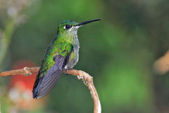 Green hummingbird in Ecuador Stock Photography