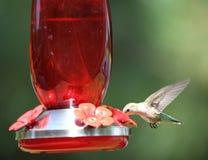 Green hummingbird at feeder Stock Photography