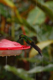 Green hummingbird at feeder in Costa Rica Royalty Free Stock Photography