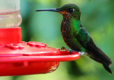 Green hummingbird at feeder, Costa Rica Royalty Free Stock Images