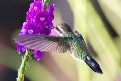 Green Hummingbird at Flower Stock Images